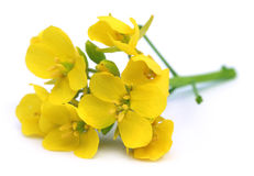 Edible mustard flowers. Bunch of edible mustard flowers over white background Stock Photography