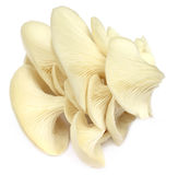 Edible oyster mushroom Royalty Free Stock Photography
