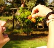 Edible palm weevil larvae (Rhynchophorus phoenicis) from the Amazon Stock Image