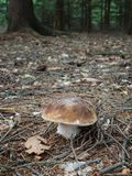Edible Penny Bun mushroom in the autumnal forest stock photography