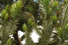 The edible pine cone fruit of Araucaria brasiliensis, not yet ripe. Know also as Araucaria augustifoglia, the brazilian pine fruit, `pinhão` provided Stock Photo