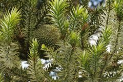 The edible pine cone fruit of Araucaria brasiliensis, not yet ripe. Know also as Araucaria augustifoglia, the brazilian pine fruit, `pinhão` provided Stock Images