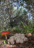 Edible and Poisonous Mushrooms Together in a pinewood. Mushrooms Amanita muscaria or fly agaric and Lycoperdon perlatum or common puffball on the floor of a pine stock photography
