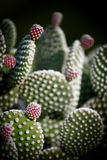 Edible prickly pear cactus with ripe fruits Royalty Free Stock Photos