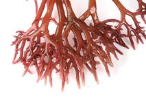 Gigartina Pistillata. Edible red seaweed in the family Gigartina. Binomial name: Gigartina Pistillata stock images