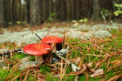 Edible russula mushrooms Royalty Free Stock Photo