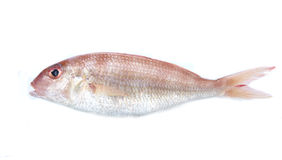 Edible sea fish  isolated on white. Background Royalty Free Stock Photography