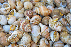 Edible sea snails Royalty Free Stock Photo