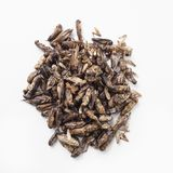 Edible seasoned fried crickets royalty free stock images