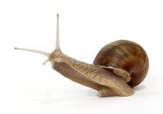 Edible snail. On the white background Stock Photo