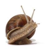 Edible snail. On the white background Royalty Free Stock Photos