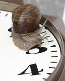 Edible snail Royalty Free Stock Image