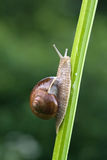 Edible snail Stock Images
