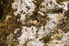 Edible snail Stock Image