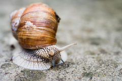 Edible snail crawls. On grey stone surface Royalty Free Stock Photo