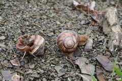 Edible Snail Helix роmatia. 2 edible snails Stock Photography