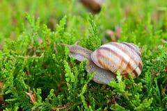 Edible snail (Helix pomatia). Big edible snail on thuya leaves. Biological description: Mollusca Linnaeus, 1758; Gastropoda Cuvier, 1797; Pulmonata Cuvier, 1817 Royalty Free Stock Image