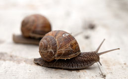 Edible snail Royalty Free Stock Image