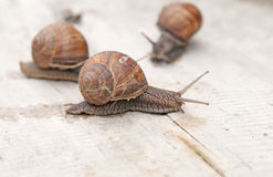 Edible snail Royalty Free Stock Images