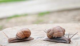 Edible snail Stock Photography
