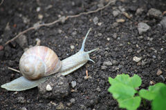 Edible snail (Helix pomatia) Stock Photos