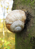 Edible snail on the tree Stock Photography