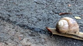 Edible snail walking over a way. In Germany stock video
