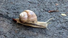 Edible snail walking over a way. In Germany stock footage