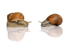 Edible snails. Two edible snails isolated on the white background stock photography