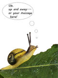 The edible snails escape - metaphor. A young edible snail, Cantareus apertus, heading for freedom! Motivational metaphor, text easily adjusted for your message Royalty Free Stock Images