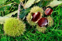 Edible sweet chestnuts Stock Images
