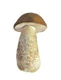 Edible tasty mushroom Stock Photos
