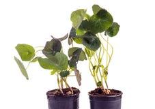 Edible Tropaeolum majus leaves, nasturtium leaf Royalty Free Stock Photos