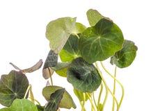 Edible Tropaeolum majus leaves, nasturtium leaf Stock Photo