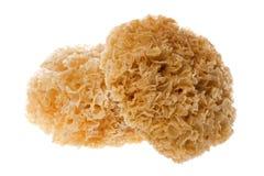 Free Edible White Fungus Isolated Stock Photo - 6458630