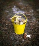 Edible wild mushrooms in a yellow bucket Stock Photography