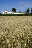 Edifícios de exploração agrícola e campo de trigo Fotos de Stock Royalty Free
