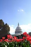 Edificio de capital de los E.E.U.U. en el tiempo del tulipán Imagenes de archivo