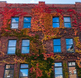 Edificio urbano de las hojas que sube del ladrillo ornamental de la cubierta Fotografía de archivo libre de regalías