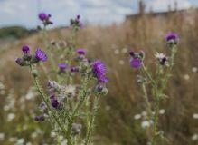 Edinburgh, Scotland - the Water of Leith walkway - thistle plants. This image shows a view of the Water of Leith walkway, Edinburgh, Scotland. It was taken on a royalty free stock photo