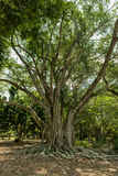 Edison et Ford Winter Estates Park Tree Fort Myers, la Floride Photographie stock
