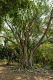 Edison och Ford Winter Estates Park Tree Fort Myers Florida Arkivbild