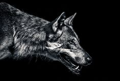 Wolf portrait. A black and white portrait of a wolf with half open mouth stock image