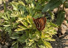 Edith`s Checkerspot butterfly, Mount Rainier National Park, Washington. Pictured is an Edith`s Checkerspot butterfly on a plant in Mount Rainier National Park stock photos