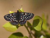 Edith's Checkerspot Euphydryas editha Stock Photo