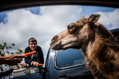 Editorial - July 29, 2014 at Parc Safari, Quebec , Canada on a b. Editorial - July 29, 2014. Camel walking through the Car Circuit Where you can touch and feed royalty free stock images