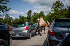 Editorial - July 29, 2014 at Parc Safari, Quebec , Canada on a b. Editorial - July 29, 2014. Camel walking through the Car Circuit Where you can touch and feed stock image