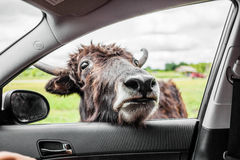 Editorial - July 29, 2014 at Parc Safari, Quebec , Canada on a b. Editorial - July 29, 2014. Cow during the Car Circuit Where you can touch and feed many kind of royalty free stock images