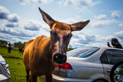 Editorial - July 29, 2014 at Parc Safari, Quebec , Canada on a b. Editorial - July 29, 2014. Cute Deer inside the Car Circuit Where you can touch and feed many stock images