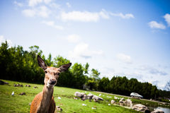 Editorial - July 29, 2014 at Parc Safari, Quebec , Canada on a b. Editorial - July 29, 2014. Cute Deer inside the Car Circuit Where you can touch and feed many royalty free stock photo